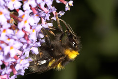 """Bumble bee(6) • <a style=""""font-size:0.8em;"""" href=""""http://www.flickr.com/photos/57024565@N00/190628907/"""" target=""""_blank"""">View on Flickr</a>"""