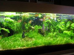 My Aquarium (Lifecapture) Tags: fish green nature rock aquarium neon natural tube o2 bubbles oxygen 02 tropical tetra 100 rams ram swords tropicalfish cardinals sera neons discus freshwater cichlid co2 planted juwel tetras aqarium crypts plantedaquarium tubelight freshwateraquarium riccia tropicalaquarium wendtii cryptos 90watts ricciafluitins co2inejection tennelus hairgrass elecharis didiplisdiandra fossilisedwood natureaquarium 100planted freswatertropicalaquarium greataquascape