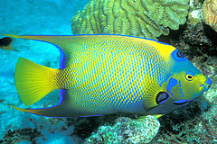 Regal Queen (laszlo-photo) Tags: fish coral underwater scuba queen caribbean reef angelfish bonaire queenangelfish netherlandantilles specnature 250v10f