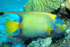 Regal Queen (laszlo-photo) Tags: fish coral underwater scuba queen caribbean reef angelfish bonaire queenangelfish netherlandantilles specnature 250v10f