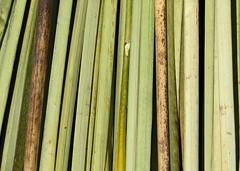 Fan (amy allcock) Tags: wallpaper lake abstract detail texture peru reed uros titicaca june closeup totora island background floating 2006 isla flotantes