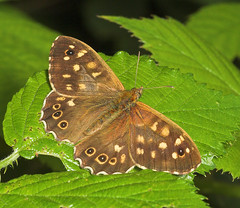 "Speckled Wood Butterfly (pararge aege(6) • <a style=""font-size:0.8em;"" href=""http://www.flickr.com/photos/57024565@N00/194650838/"" target=""_blank"">View on Flickr</a>"