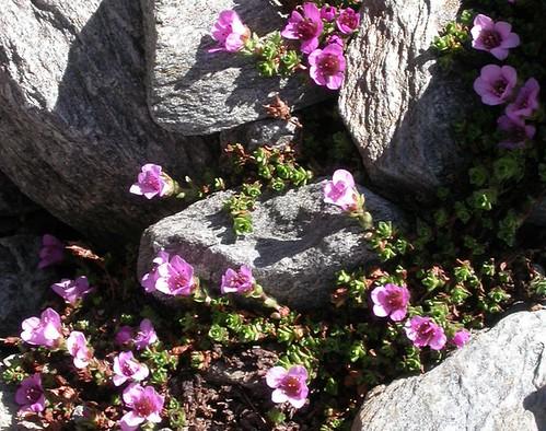Purple Saxifrage (Saxifraga oppositifolia)