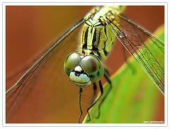 Did you smile today? - smiling dragonfly happy nature bug (sam4605) Tags: leica macro nature beautiful smile smiling animal closeup bug insect lumix diy dragonfly small panasonic micro colourful makro fz30 bugslife amazingworld macroviewers magnifierglass diymacrolens smilingdragonfly sam4605