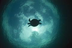 turtle silhouette (gerb) Tags: topf25 beautiful topv111 topv2222 1025fav wow cool topf50 topv555 topv333 underwater turtle topv1111 topv999 scuba fv5 loveit topv5555 pi malaysia topv777 d100 sipadan topv9999 topv11111 topv3333 artphoto topv7777 105mmf28gfisheye 999v9f pfo tvx abigfave kuwaitphoto snellswindow photofaceoffwinner kuwaitartphoto kuwaitart pfogold alemdagqualityonlyclub