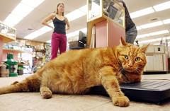 Chester, el gato gordo