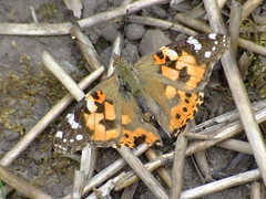 painted lady DSCF2871 (hedgerowmobile) Tags: butterflies paintedlady