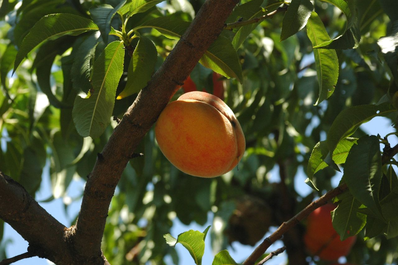 Peach Tree from Campus Road Garden (photo by Flatbush Gardener)