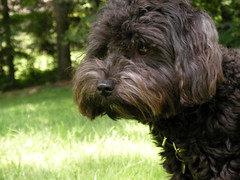 Thoughtful. (noahg.) Tags: noah dog brown ny black eye animal closeup puppy beck bokeh fluffy bulgaria planet beckett animalplanet schnoodle sanyoc6 noahbulgaria bokehsoniceaugust bokehsoniceaugust02