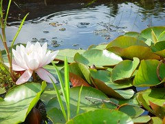 Lotus in the pond at Taraloka