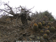 Carica chilensis & Eriosyce subgibbosa (Spiniflores) Tags: chilensis eriosyce carica subgibbosa neoporteria eriosycesubgibbosa caricachilensis ja74