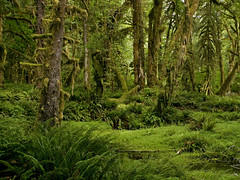 Quinault Rainforest . 21 (Steven Schnoor) Tags: trees plants usa plant fern color tree green art tourism nature colors rain horizontal forest landscape photo washington moss flora rainforest olympicpeninsula location pacificnorthwest northamerica environment lush ferns washingtonstate olympicnationalpark pnw activities quinault temperate washingtonusa westernwashington schnoor saywa experiencewa intimatelandscape addtcontent imagesmyth experiencewashington stevenschnoor stevenschnoor
