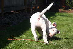 yeti3 (estenard) Tags: english puppy bull terrier yeti
