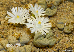 Lithops (living stones) (Martin_Heigan) Tags: camera flower macro nature digital southafrica living succulent nikon close desert martin stones lithops photograph d200 dslr arid lithop 60mmf28micro nikonstunninggallery heigan wsnbg mhsetsucculents mhsetflowers
