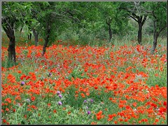 almond trees and poppies (Marlis1) Tags: trees summer espaa wow spain poppies 100vistas specnature abigfave