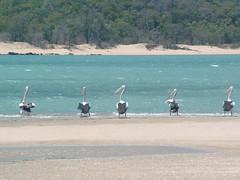 Friday Island Pelicans