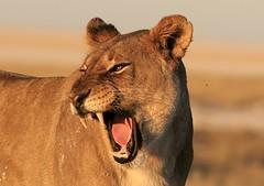Awrrr.... (..jmd..) Tags: wild portrait cats animals yellow cat wildlife teeth lion dramatic adventure safari crisp lions wilderness namibia triplea animalkingdomelite bokehsoniceseptember bokehsoniceseptember19