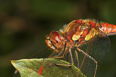 """Common Darter (Sympetrum striolatum)(16) • <a style=""""font-size:0.8em;"""" href=""""http://www.flickr.com/photos/57024565@N00/225249430/"""" target=""""_blank"""">View on Flickr</a>"""