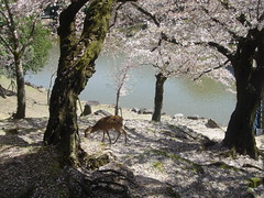 Would like to meet you there (aurelio.asiain) Tags: nature japan cherry pond poetry seasonal blossoms deer   sakura cherryblossoms breathtaking springtime  japn venado  aurelioasiain ionushi asiain mexicaninjapan margendelyodo