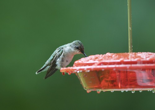 Ruby throated hummingbird female