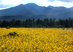 San Francisco Peaks (sonic_serenity) Tags: flowers arizona beautiful field yellow landscape volcano lava pretty flagstaff sanfranciscopeaks ponderosa breathtaking sunsetcrater mogollon