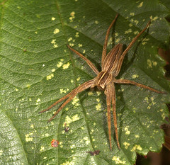 """Wolf Spider • <a style=""""font-size:0.8em;"""" href=""""http://www.flickr.com/photos/57024565@N00/243684766/"""" target=""""_blank"""">View on Flickr</a>"""