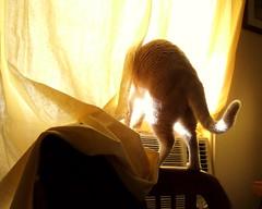 exploring the loaner A/C unit (strph) Tags: window cat crookshanks 2006 airconditioner catbutt catsandwindows