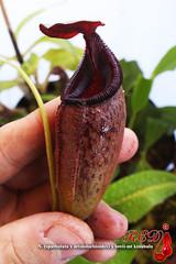 N. (spathulata x aristolochioides ) x lowii-mt kinabalu (Red Lowii) Tags: n spathulata x aristolochioides lowiimt kinabalu red lowii
