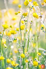 I dream of summer (Kasia Sokulska (KasiaBasic)) Tags: fujix canada alberta elkislandnp summer light nature flower abstract buttercups macro