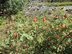 Rosier pomme (L'herbier en photos) Tags: rosaces rosaceae sobrarbe aragon espagne aragn espaa huesca pyrnes pirineo pirineos monte perdido ordesa montperdu rosa villosa rosier pomme apple rose cynorhodon torla torlaordesa soaso