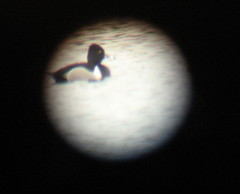 digiscoped ring necked duck