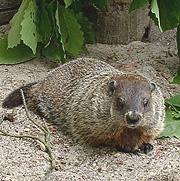 groundhog_gal