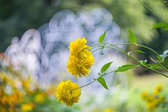Flowers (Dmitry_Pimenov) Tags: park light summer flower nature colors beautiful vintage fantastic dof outdoor background awesome fujifilm helios bokhe helios444 sovietlenses fujifilmxt1 dmitrypimenov dipimenov
