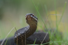 melanstic adder, Vipera berus (willjatkins) Tags: macro snake viper snakes britishwildlife adder adders vipera vipers viperaberus sigma105mm ukwildlife snakecloseup snakeportrait britishsnakes britishreptiles britishsnake macrowildlife uksnake uksnakes britishreptilesandamphibians ukreptiles nikond7100 macrosnakes heathlandwildlife ukamphibiansandreptiles ukreptilesandamphibians britishamphibiansandreptiles heathlandreptiles heathlandsnakes snakesofeurope