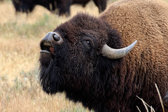 Flehmen behaviour in an excited Bison Bull (Alan Vernon.) Tags: male female fur mammal cow buffalo bullock coat grand bull ox upper organ american valley lip wyoming plains tetons bison bovine reproduction scents grasslands curling rut smelling pheromones behaviour inhaling flehmen vomeronasal