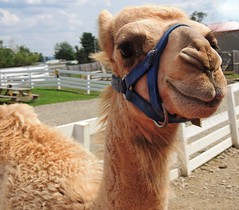 Happy zoo camel (Sabrinaaaa.21) Tags: new york old city light food usa newyork nature colors animal animals night zoo for star nikon day like follow fave camel fav amateur beginner