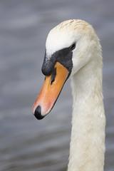 swan neck (Cranswick852) Tags: bird water birds canon swan canon5d fowl 8618 canon5dmkiii canon5dmk3 ef14xiii ef100400mmf4556lisiiusm