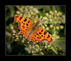 Comma butterfly (tkimages2011) Tags: orange plant butterfly insect wings sthelens comma merseyside carrmill