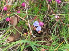 Comesperma sphaerocarpum 7 (barryaceae) Tags: park new plants wales bay south australia national heath species crowdy heathplants australianheathplants aushp