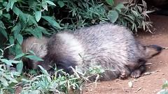 #4198 racoon dog () sleeping (Nemo's great uncle) Tags: zoo  hino   racoondog   tamazoo tky  tamazoologicalpark nyctereutesprocyonoides  nyctereutes procyonoides