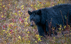 Black Bear Foraging (jmdarter) Tags: nature wildlife deer wyoming grandtetons tetons jacksonhole