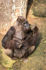 2015-09-18-12h35m30.BL7R2094 (A.J. Haverkamp) Tags: germany zoo gorilla rostock dierentuin mecklenburgvorpommern westelijkelaaglandgorilla canonef100400mmf4556lisusmlens pobjerseyisland httpwwwzoorostockde assumbo dob05061973