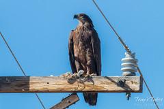 Juvenile Bald Eagle keeps watch