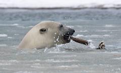 Anyone Have a Light (cheryl strahl) Tags: ocean playing ice alaska frozen bears arctic stick polarbears eskimo arcticcircle kaktovik barterisland inupiat droh northslopealaska dailyrayofhope alaskascoastalwilderness beaufordsea anwralaska