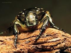 Protaetia marmorata (KOLLEKCIONER) Tags: beetle coleoptera cetoniinae