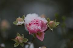 PinkRoseWithSnow (Jermiin) Tags: pink roses snow macro nature denmark snowy natur skandinavien scandinavia makro danmark ry sne roser suddendeath lyserd snevejr rde midtjylland glrye