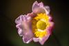 Flowers in light #61 (lumofisk) Tags: pink plant flower yellow dof depthoffield explore 86mm 0mmf0 nikondf explored20151101422