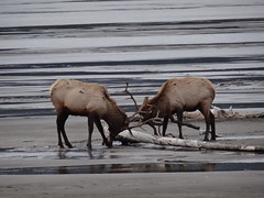 Fighting elk on the frozen Athabasca River in Jasper National Park (peggyhr) Tags: friends canada zoom alberta athabascariver thegalaxy 50faves semifrozen peggyhr heartawards dsc02306 level1photographyforrecreation thelooklevel1red level2photographyforrecreationsilveraward super~sixstage2silver rainbowofnaturelevel1red musictomyeyes~l1 infinitexposurel1 level1peaceawards super~sixbronzestage1
