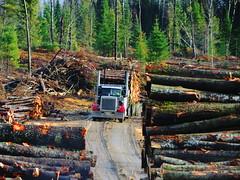 Starting outta the Mister rd. (jr-transport) Tags: wood classic poplar offroad logging short peterbilt numbered 359