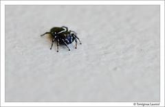 Saltique (Laurent Torrgrosa) Tags: spider nikon tamronspaf90mmf28 saltique araignesauteuse